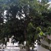 Annona muricata, CUCS