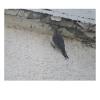 Melanerpes uropygialis, Nombre común: Carpintero del desierto