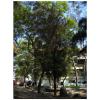 Casuarina equisetifolia, CUAAD. Fotografía de GEOSÍNTESIS SC.