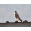 Falco sparverius, Nombre común: Cernícalo americano