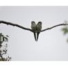 Myiopsitta monachus, Nombre común: Cotorra argentina