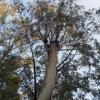 Eucalyptus camaldulensis, CUCS