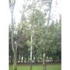 Eucalyptus camaldulesis, CUCEA
