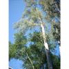 Eucalyptus camaldulnensis, CUAAD.