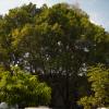 Ficus microphylla, CUAAD
