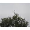 Ardea alba, Nombre común: Garza blanca