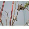 Chondestes grammacus, Nombre común: Gorrión arlequín