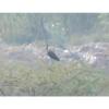 Plegadis chihi, Nombre común: Ibis cara blanca