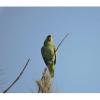 Amazona finschi, Nombre común: Loro corona lila. En peligro de extinción (P)