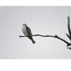 Elanus leucurus, Nombre común: Milano cola blanca