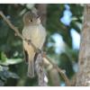 Empidonax hammondii, Nombre común: Mosquero de Hammond
