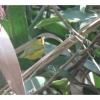 Cardellina pusilla, Nombre común: Chipe corona negra