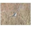 Polioptila caerulea, Nombre común: Perlita azul gris