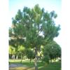 Pinus devoniana, CUCEA