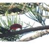 Piranga rubra, Nombre común: Tángara roja
