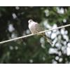 Columbina inca, Nombre común: Tórtola cola larga