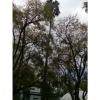 Washingtontonia robusta, CUCEI